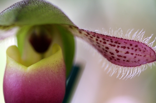 A close up view of a paphiopedilum orchid on display in the exhibition tent at the 14th Annual Redland International Orchid Festival on Saturday, May 15, 2010, at Fruit and Spice Park. The event offered tours, supplies and lectures all about orchids.