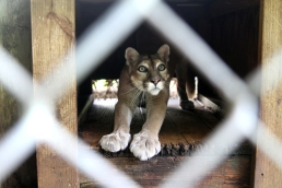 Nola, a 15-year-old panther who suffers from feline distemper, stretches at her home, the Southern Florida Wildlife Rehab Center on Thursday, August 12, 2010.