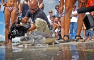 One day before Earth Day, Zane, an approximately 1-year-old green sea turtle that has been rehabilitated at the Miami Seaquarium after being rescued on Miami Beach too weak to swim into the ocean and thought to be dead, is released back into the water off of Bill Baggs Cape Florida State Park in Key Biscayne on Wednesday, April 21, 2010.