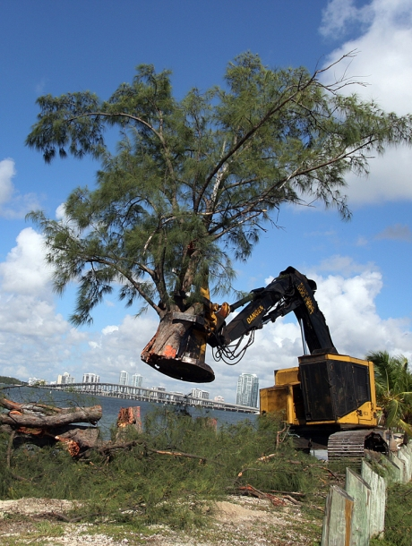 -- 9/22/09 - Allison Diaz / For the Miami Herald -- Miami-Dade County public works begins the process of removing the Australian Pine trees, not native to South Florida, that line Rickenbacker Causway to prevent them from becoming road debris after hurricanes. (Key Biscayne, 8 of 8)